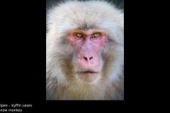 snow monkey - Kyffin Lewis
