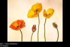 Five Poppies - Lesley Bretherton