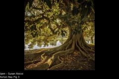 Morton Bay Fig 3 - Susan Rocco