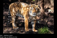 Bengal Tiger at Melbourne Zoo - Matthew Leane