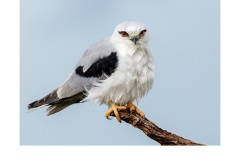Black Shouldered Kite - Kyffin Lewis (Highly Commended - Open - B Grade - July 2019 PDI)