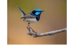 Blue Wren pose - Kyffin Lewis (Highly Commended - Open B Grade - Jun 2019 PDI)