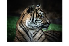 Chill Tiger - Elizabeth Jackson (Commended - Open B Grade - Jun 2019 PDI)