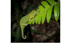Sleeping stomach striped chameleon - Annette Donald (Highly Commended - Open A Grade - Jun 2019 PDI)