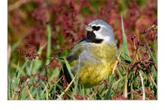 Black throated finch - Gary Richardson (Commended - Open A Grade - Mar 2019 PDI)