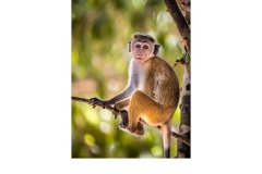 Toque Macaque Sri Lanka - Lesley Bretherton (Commended - Open A Grade - May 2019 PDI)