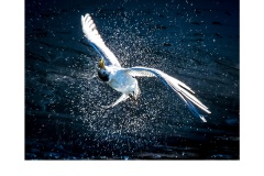Shaking tern - Annette Donald (Commended - Set Subject - Movement - May 2019 PDI)