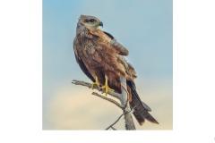 Black Kite, Werribee - Susan Rocco (Commended - Open B Grade - Oct 2019 PDI)