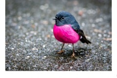 Pink Robin - Ruth Woodrow (Highly Commended - Open B Grade - Oct 2019 PDI)
