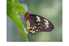 Cairns Birdwing with Eggs - Marg Huxtable (Commended - Open A Grade - Sep 2019 PDI)
