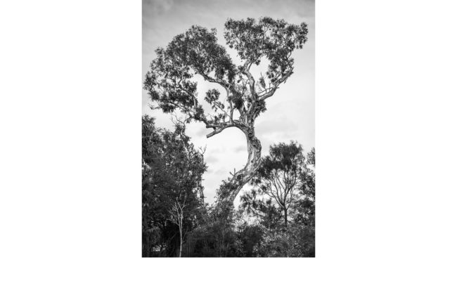 The Ngargee (Corroboree Tree), St Kilda - Lesley Bretherton